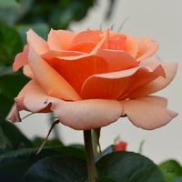 Róża dla Was