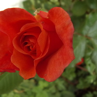 Róża jeszcze na sucho.