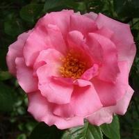 róża na niedzielę