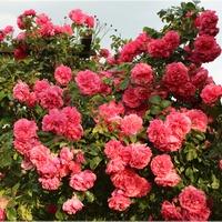 Róża od zachodu...