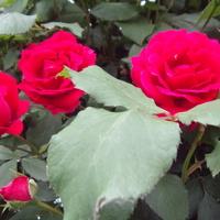 Róża pnąca zaczyna ale