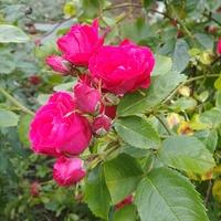 Róża w moim ogrodzie :)