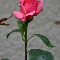 róża z liśćmi po deszczu