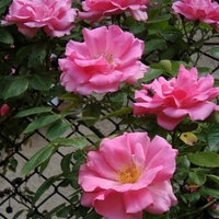 róże na tle kraty