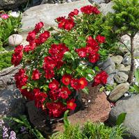 róże w gorącym kolorze