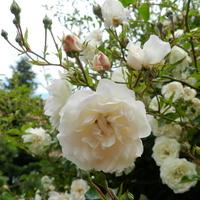 Róża pnąca wielkokwiatowa