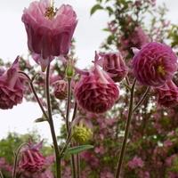 Różowa kumulacja :)