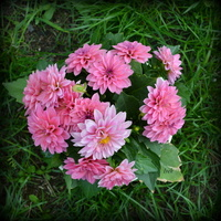 różowe dalie