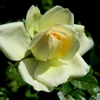 Różyczka:)