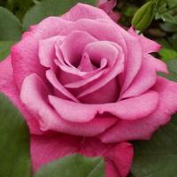 Rozkwitają róże...