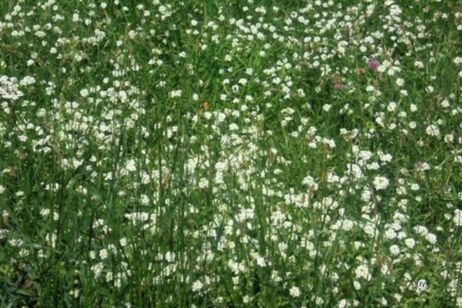 biała łąka