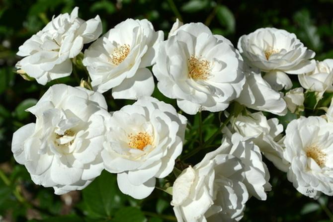 Białe róże w parku.