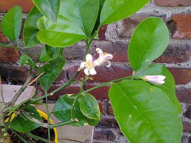 Cytryna kwitnie w najlepsze