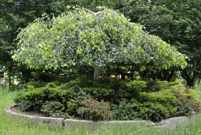 drzewo-parasolka na moim osiedlu