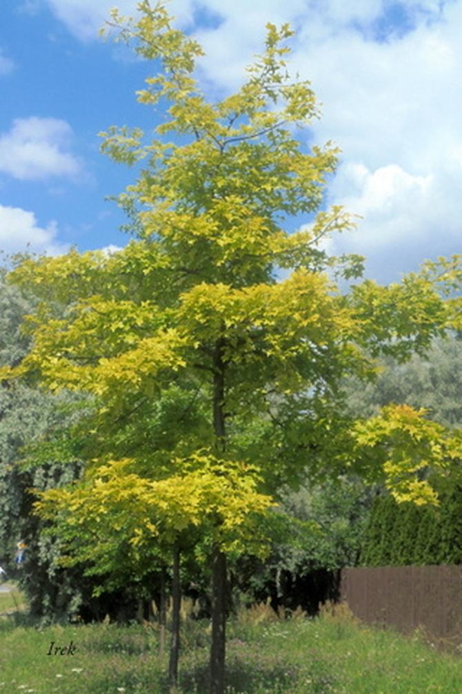 Drzewo w lipcu tak wygląda (nie w maju)