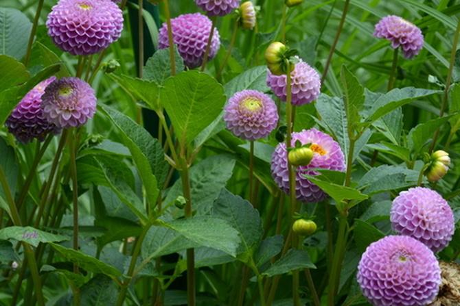 fioletowe pompony