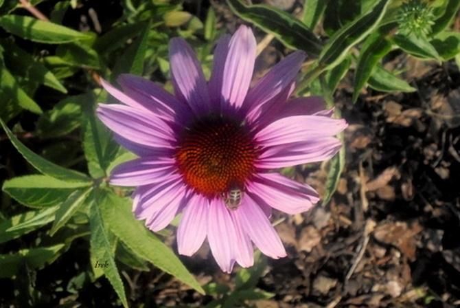 jeżówka różowa, z góry