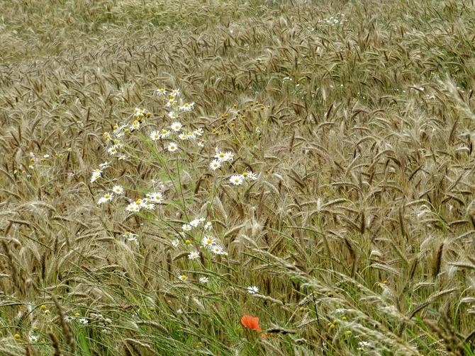 Kwiaty w zbożu