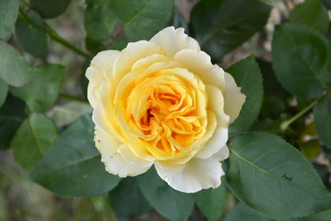 kwitnąca róża.