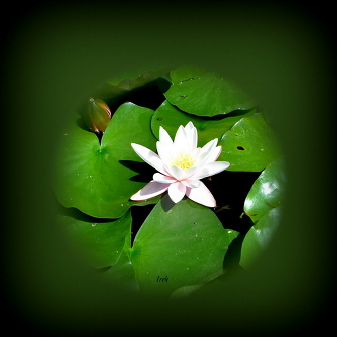 lilia wodna wychodzi z kuli