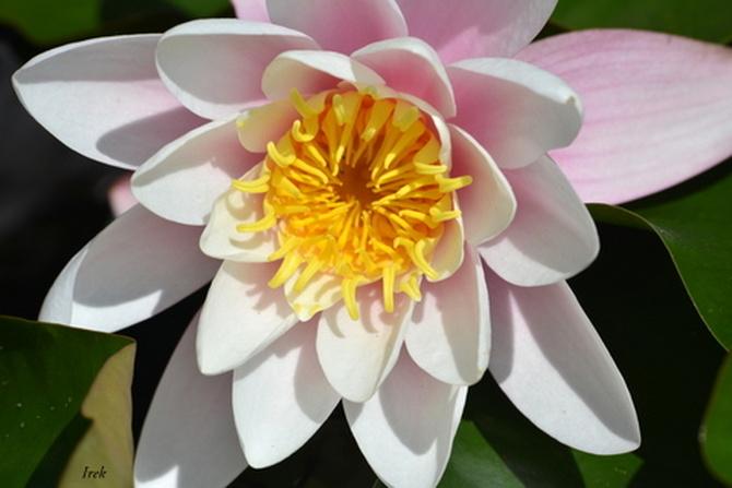 lilia wodna z bliska