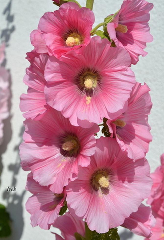 malwa różowa