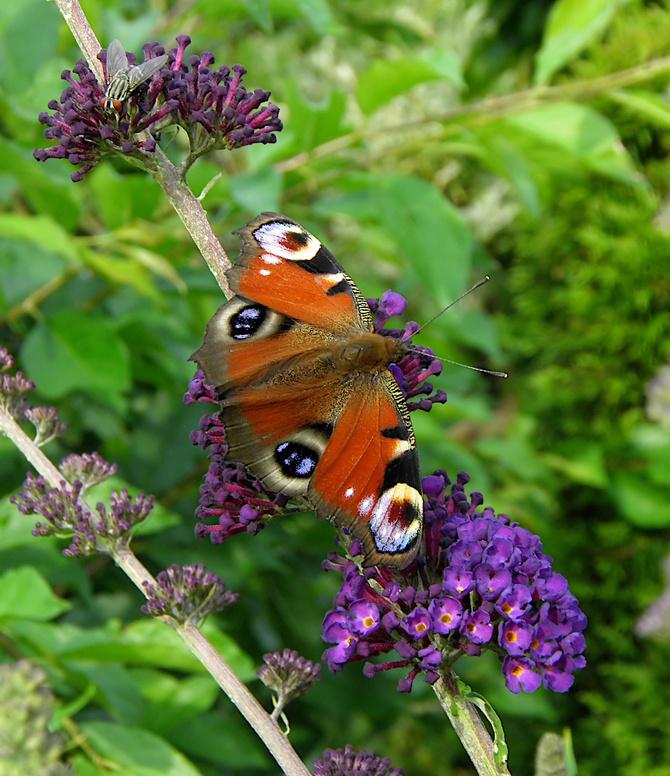 motyl i motyli krzew