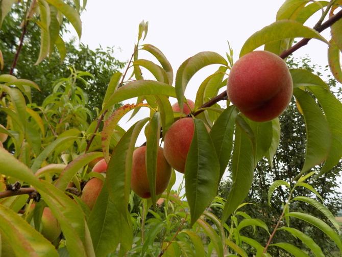Niezwykle irytujące owoce!
