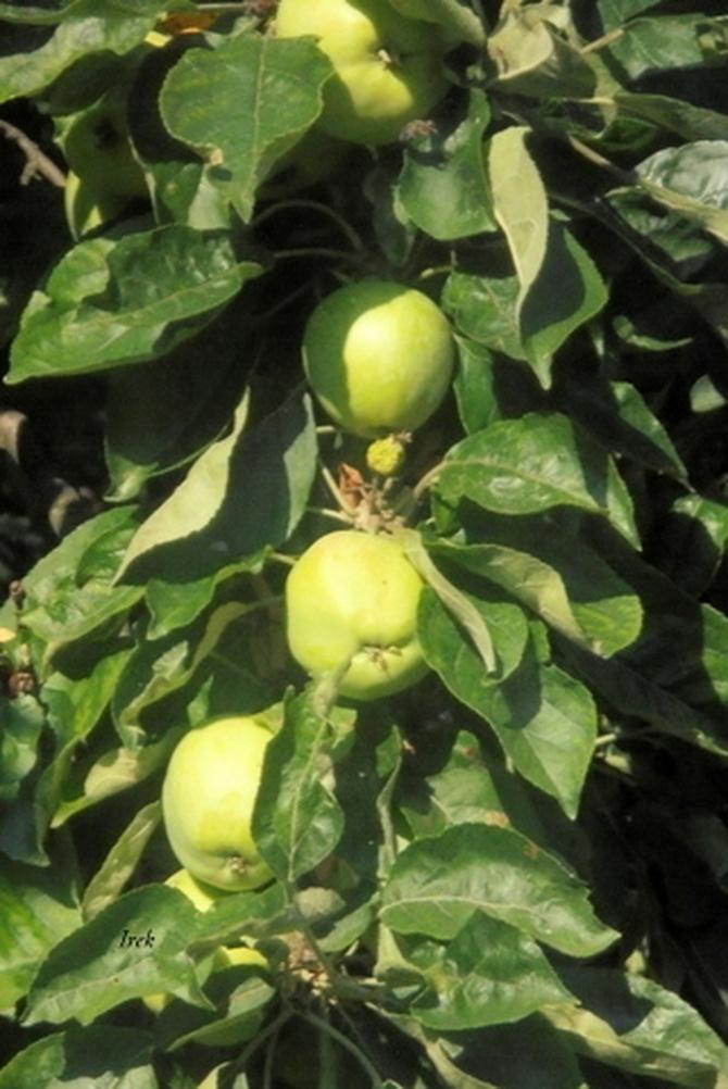 obrodziły jabłka