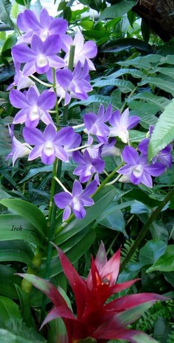 orchidea niebieska