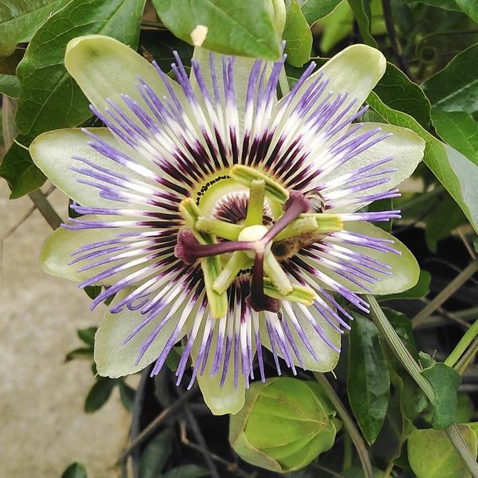 Pasiflora.