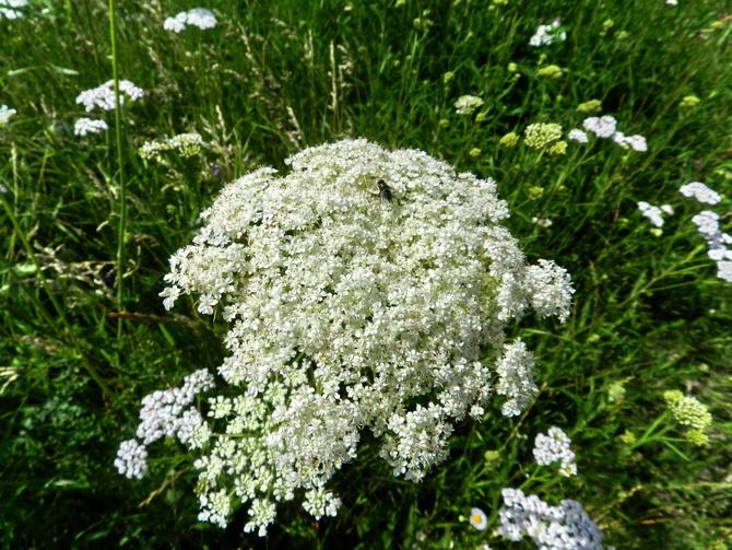Polne kwiaty