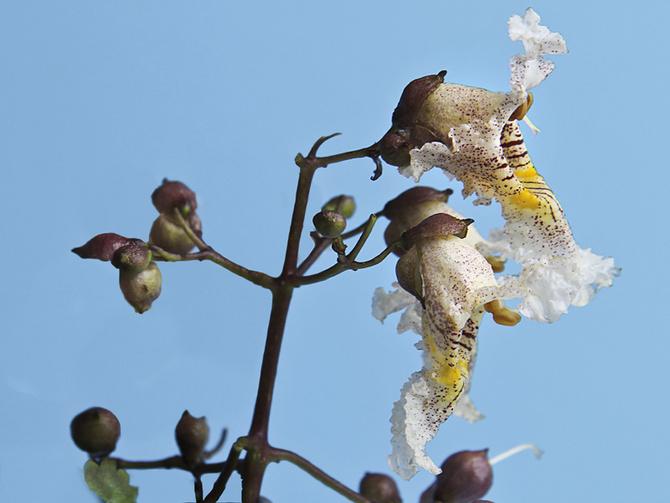 Przekwitające kwiaty surmii