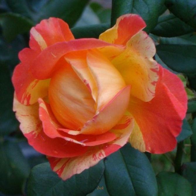 Róża na niedzielę i na następne dni