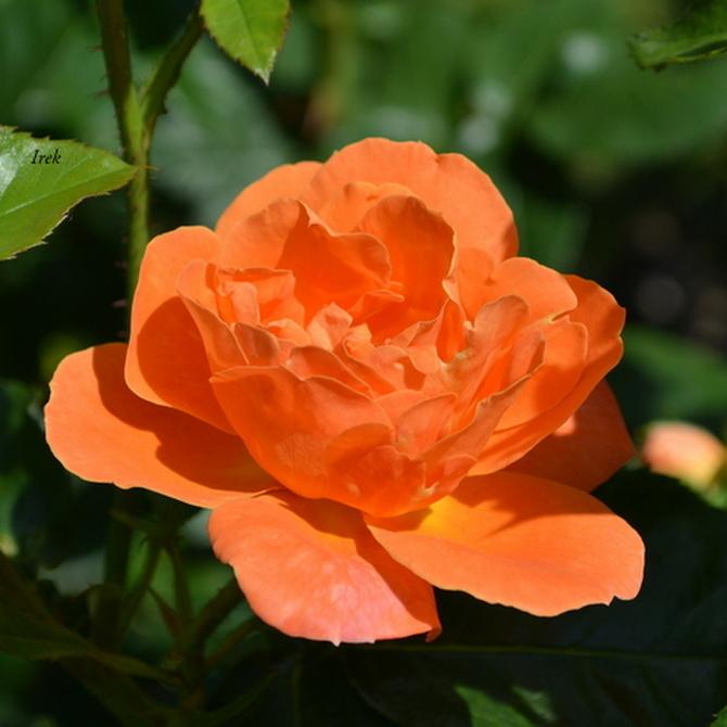 róża nadająca się na oświadczyny