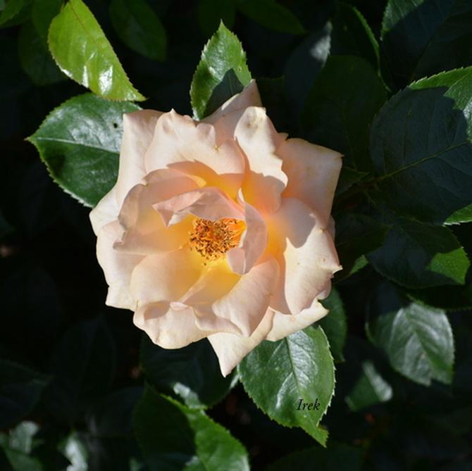 Róża przed zachodem słońca