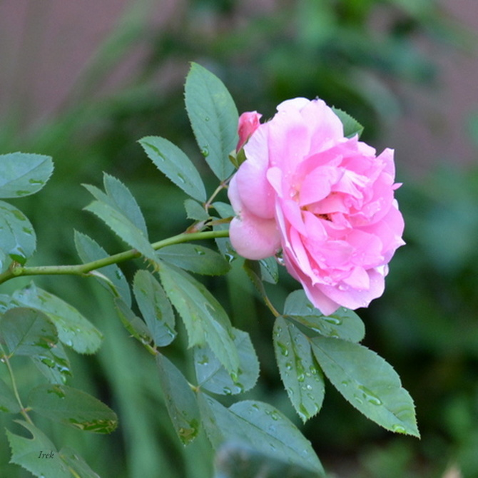 róża z kropelkami deszczu