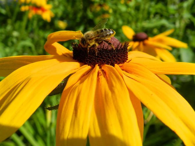 Rudbekia i pszczoła