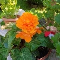 Begonia pomarańczowa :)