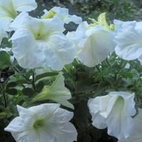 białe petunie na moim balkonie