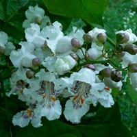 Catalpa - doczekałam się pierwszych kwiatów