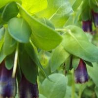 Cerinte chowa kwiatki w liściach.