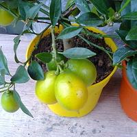 Cytryny dobre do zjedzenia