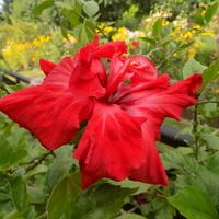 Czerwony hibiskus...