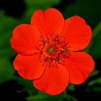 czerwony kwiat, który zgubił swoją nazwę