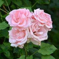 delikatne róże