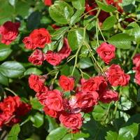 Drobne róże na moim osiedlu