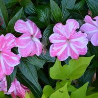 dwukolorowe kwiatki