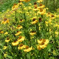 Dzielżan ogrodowy  złoto-żółty
