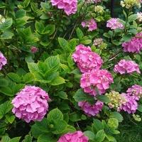 Hortensja ogrodowa :)